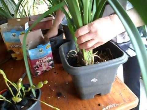 Plantando e replantando orquídeas da terra e mais dicas sobre o cultivo de orquídeas através de um modo super simples e fácil de aprender. Nosso grupo no Fac...