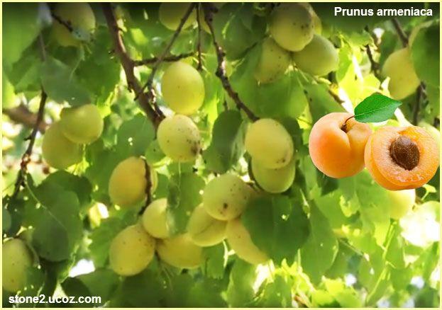 المشمش معلومات وطرق الزراعة Prunus Armeniaca قسم الفواكه النبات معلومان عامه معلوماتية Grapes Fruit Prunus