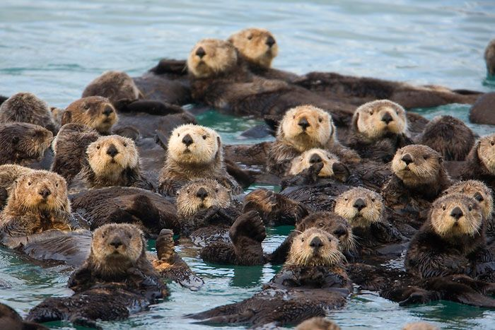 Otters eat a startling variety of prey.  Although fish is the staple of their diet they also opportunistically eat snakes, frogs, lizards, birds, eggs, small mammals, mollusks, crustaceans, and sundry other invertebrates.  Their need for calories keeps them from being too picky.  Despite their speedy metabolisms, otters live as long as dogs. the Oriental small clawed otters and the river otters are quite clannish and live in big playful groups.
