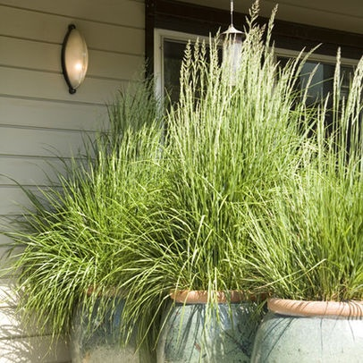 plant lemon grass-perfect privacy for porch or patio and keeps away mosquitoes