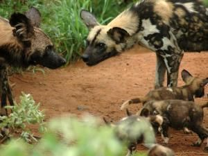 January 2015 Saturday Star review: wild dogs sighting at Madikwe Game Reserve