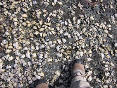 Large areas of the rock surface covered with oysters - Otford to Figure 8 Pools Circuit, Royal National Park
