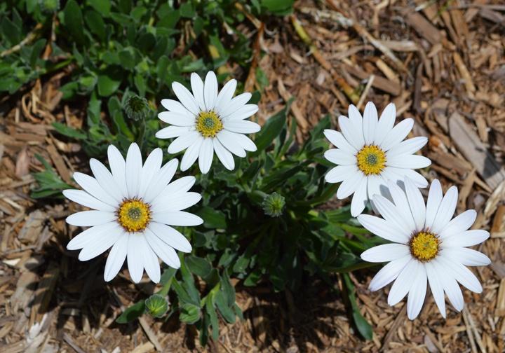 55 best gardening shrubs images on pinterest shrub for Hearty plants for outdoors