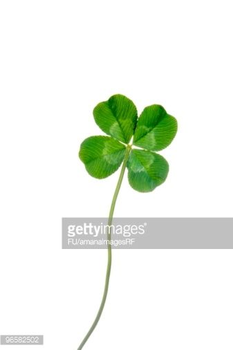 stock photo four leafed clover white background