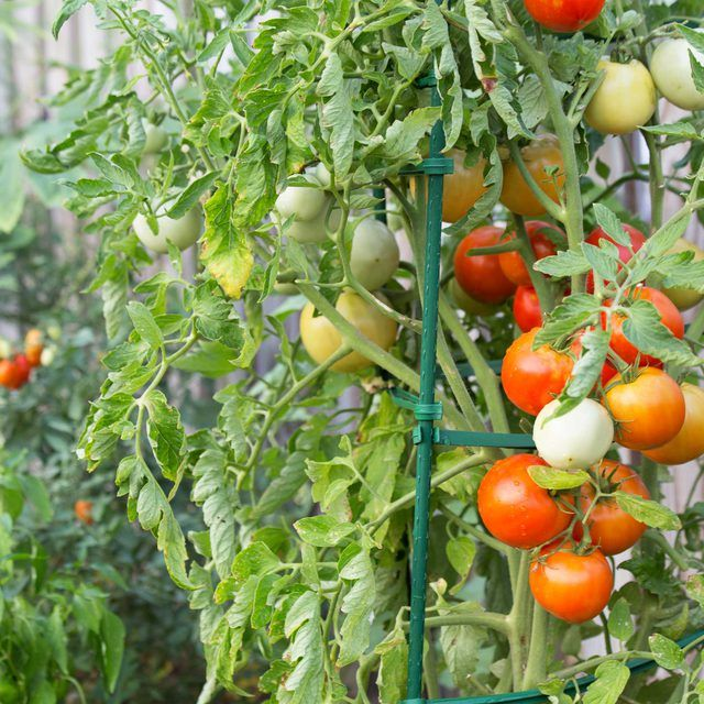 Tomato Garden Ideas learn how to properly stake your tomato plants to grow a big tomato garden great How To Stake Tomato Plants