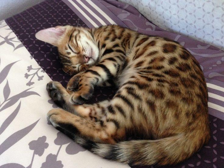 Our 11 Week Old Bengal Kitten Bengal Kitten Bengal Cat Cats
