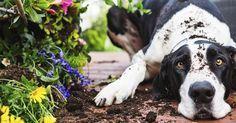 Hunde lieben den Garten zum Rennen, Schnüffeln und Spielen. Leider verursachen sie dabei oft Schäden, die Herrchen und Frauchen nicht gerne sehen. Mit ein bisschen Planung gelingt jedoch ein guter Kompromiss.