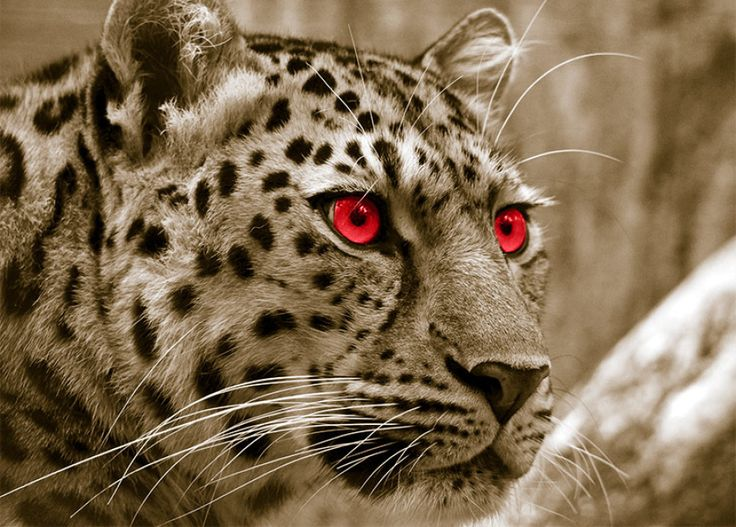 Leopard in Sepia with Red Eyes - choose from 14 feature colours, 2 background colours and four sizes.