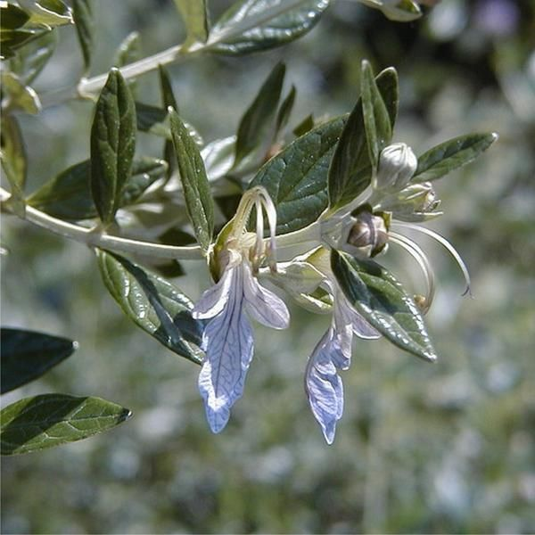 Teucrium fruticans (Tree Germander, Shrubby Germander) - Australia