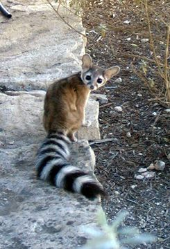 """[Ringtailed Cat on Our Land] ** """"Me haz to find a home. With a tail likes dis, ders bound to be an idiot comes along one day who be a motorcycle advocate! Don'ts yoo need a house kitteh?!"""""""
