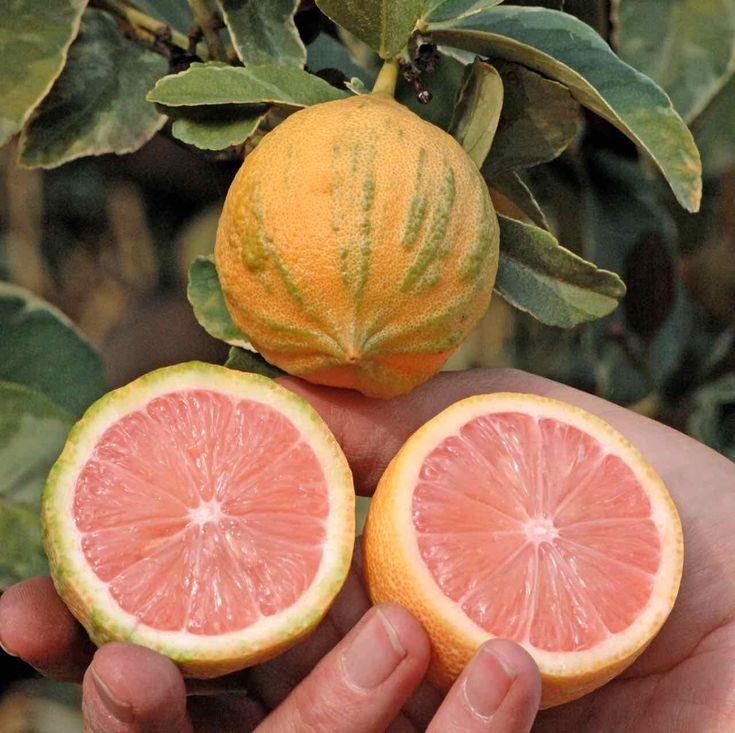 Лимонное дерево Эврика