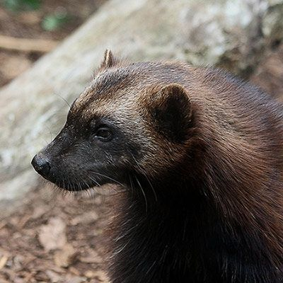 Wolverine by animalforests.org. Photo by Leo Reynolds: The North American wolverine is a bear-like mammal threatened by global warming. Wolverines need snow and can even smell food beneath 20 feet of snow. Females dig their dens in snow. The litter of two to three cubs requires a warm, safe den in about 15' of snow that will last well into the spring. As the warming climate lessens snowpack and brings about earlier snow melt, wolverines' habitat is threatened. #Wolverine #Global_Warming