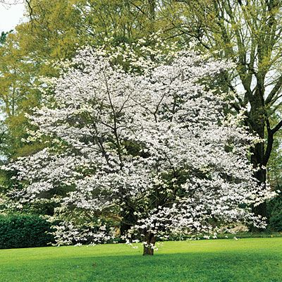 Grumpy Gardener Steve Bender shares tips and tricks on how to plant and care for ... Dogwood Trees