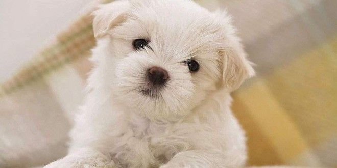 Most Demanded Small Puppies For Sale-Bichon Frise