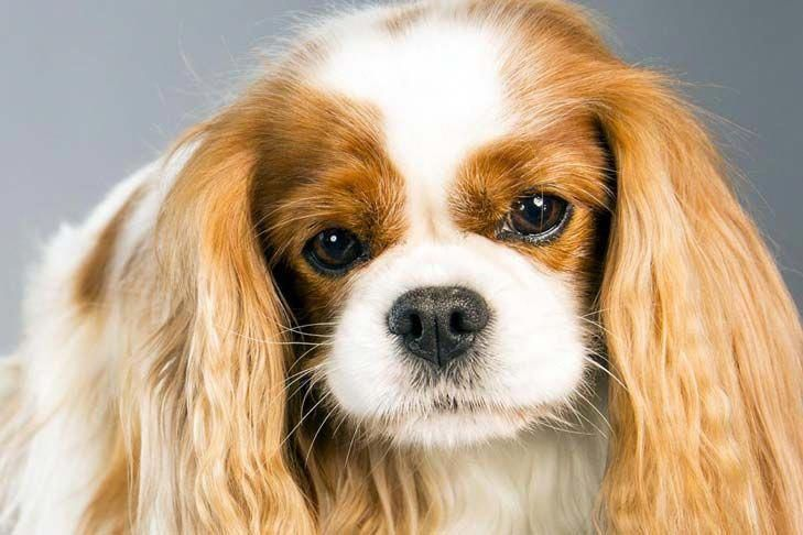 Cavalier King Charles Spaniel Graceful And Affectionate Cavalier King Charles Dog King Charles Dog King Charles Spaniel