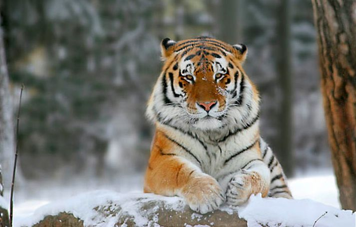 The extinct Caspian Tiger could return but not how you would think