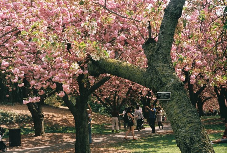 Cherry Esplanade, Brooklyn Botanical Garden   TRAVELOGUE.no