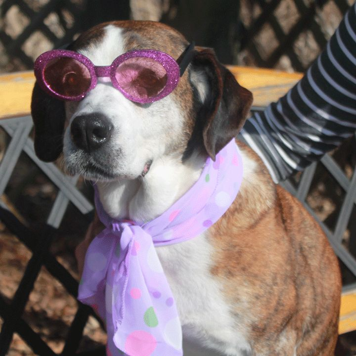 Meet Dixie, a lovable 7 year-old Boxer/Beagle mix female who's looking for a warm, cozy home to spend her golden years.