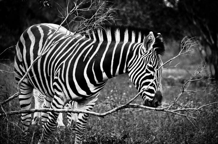 Curious zebra.