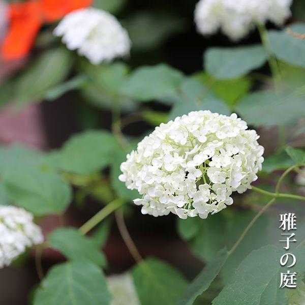 アナベル Hydrangea Arborescens Annabelle Spring Plants Plants Flowers