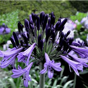 AGAPANTHUS BLACK PANTHA (PBR) - Garden Express - is purple rather than the usual blue color