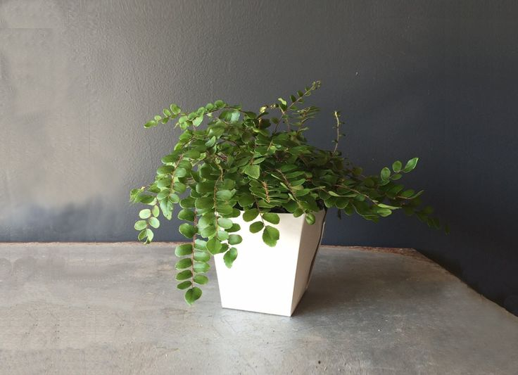 Caring for the Button Fern: {light} indirect, bright light {water} once/week, let plant dry between waterings, likes humidity {general care} fertilize week