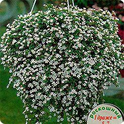 75=Бакопа Белая вершина, 3 мультидраже (1 драже 5-7 растений) Профессиональные семена