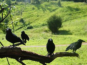 """Don't think I don't have a prop raven like these next to Artemis on the tv armoire year round.  Because I do.  I call her """"Lenore.""""  I call all ravens """"Lenore."""""""