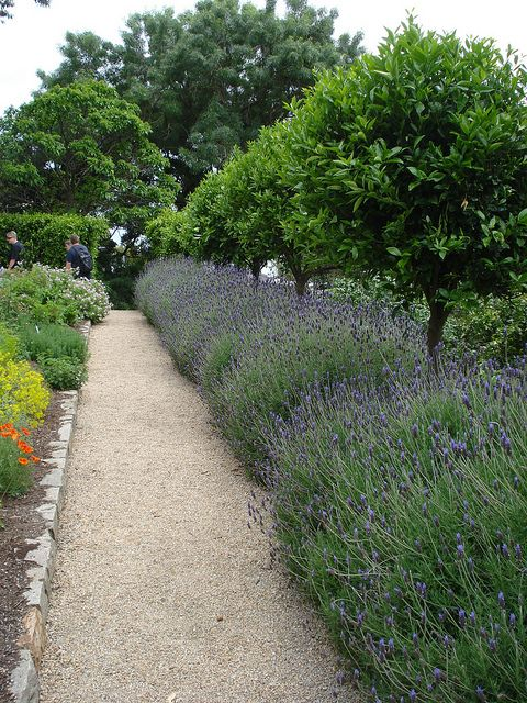 The Lavender hedge and Citrus walk in the herb parterre. Photo by Phoebe_Couyant, via Flickr
