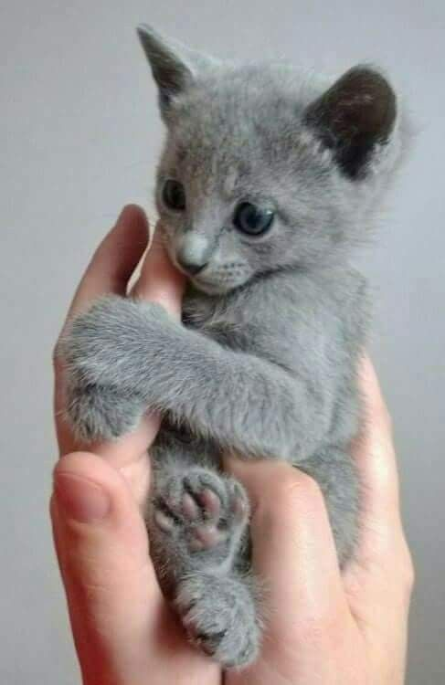 Pin By Claire Bear On Cats Cats And Kittens Russian Blue Kitten