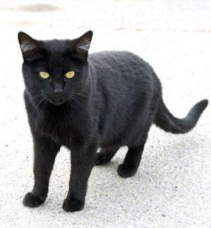 Кошка бомбейской породы Бомбейская кошка – пантера в миниатюре