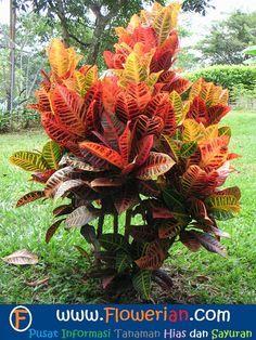 Menanam dan Cara Merawat Bunga Puring, FLOWERian.COM - Memilih bunga puring sbg tanaman hias di halaman rumah adalah pilihan yg cukup bagus