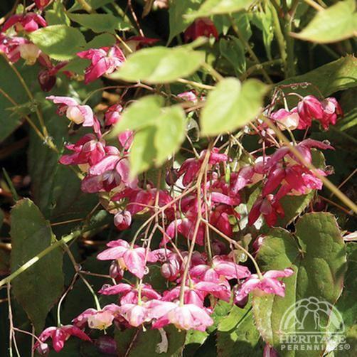 Epimedium rubrum Barrenwort -- good in dry conditions