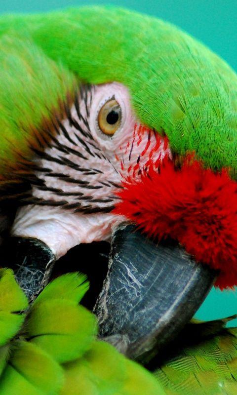 480x800 Wallpaper parrot, green, beak, striped