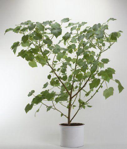 sparrmannia africana.