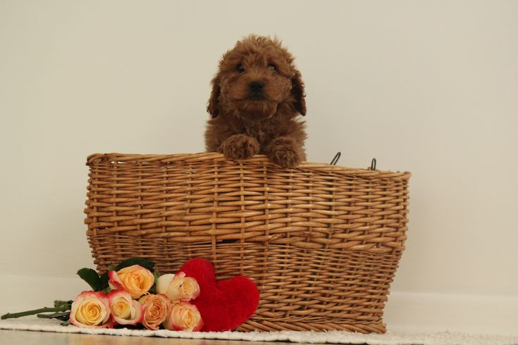 Greta F1b Miniature Goldendoodle pup for sale at