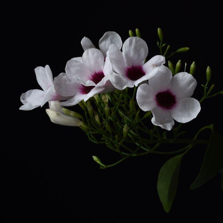 Don Urban Photography. Pandorea jasminoides. Climber native to New South Wales and Queensland, Australia.  . . . #flowers #botanicalphotography #nature #art #botanicalart #botanical #flora #photography #flowerporn #macro #floweroftheday #macrophotography #macroflowers #botanicalart #flowersandmacro #botanicaminima #botanicalportrait #pandorea #plantsonblack #macro_vision #macro_perfection #moodybotanical #tv_fadingbeauty #tv_flowers