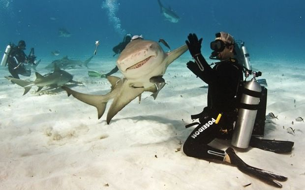 Eli Martinez and 'Taxi' his lemon shark buddy.  Pretty awesome.Like A Boss, High Five, Buckets Lists, Perfect Time Photos, Scubas Diving, The Bahamas, Highfiv, Sharks, Animal Photos