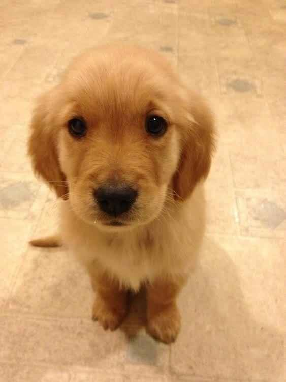 These are the puppy eyes, you will succumb to the puppy eyes. | 60 Times Golden Retrievers Were So Adorable You Wanted To Cry