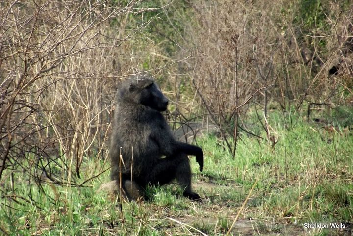 Chacma Baboon relaxing inthe Hluhluwe imfolozi Game Reserve - Country and Coastal Touring