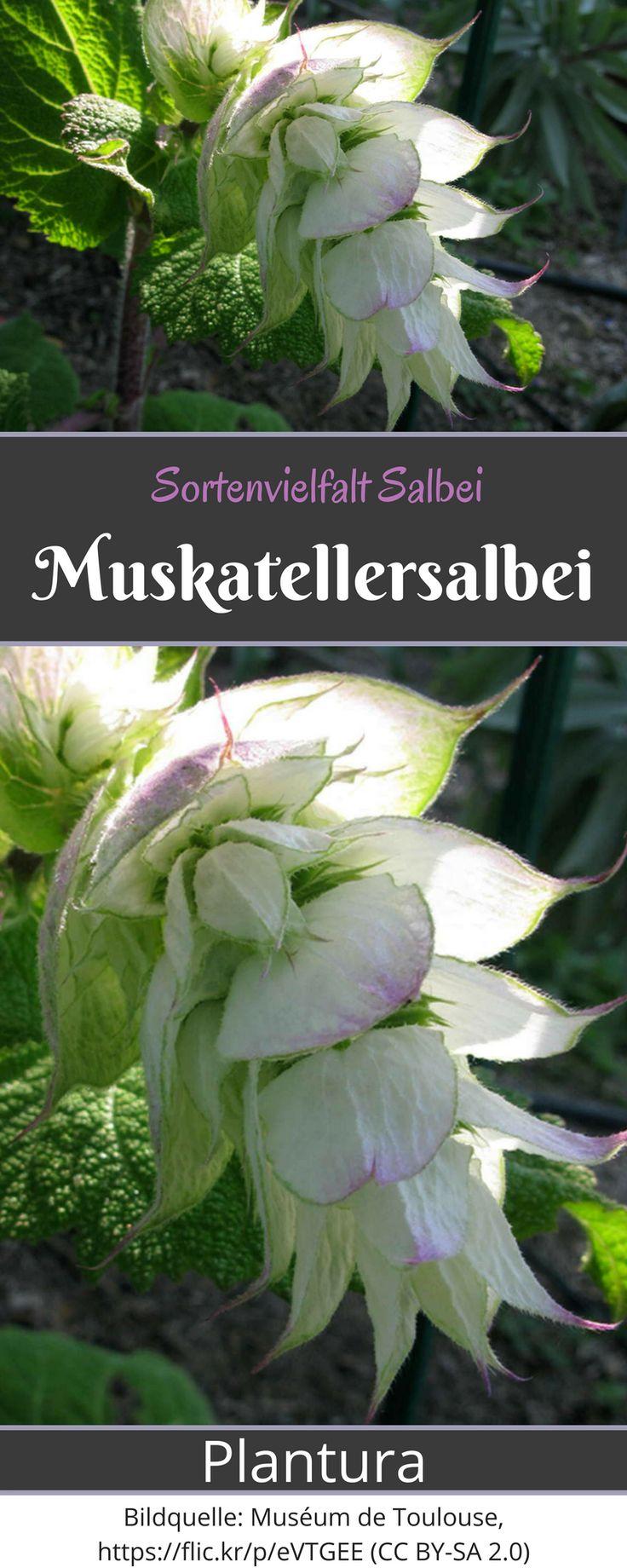 Muskatellersalbei: Über 900 verschiedene Salbeisorten gibt es weltweit. Bei Plantura findet Ihr einen Überblick über die wichtigsten Sorten!