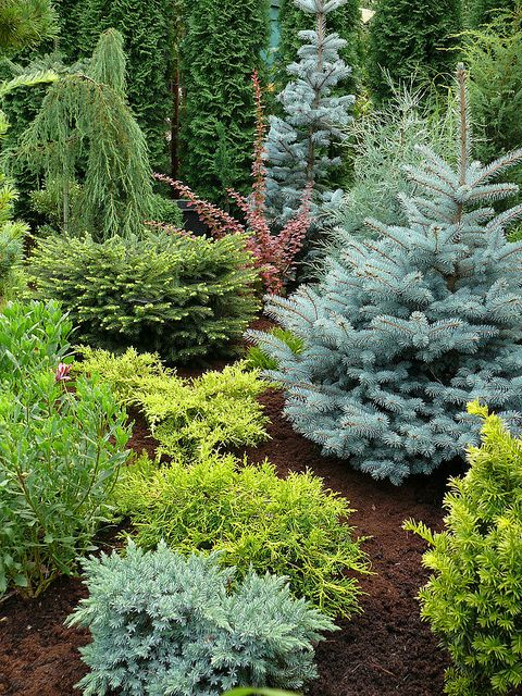 Conifers.  This would actually be a good idea for our front yard, low maintenance and still bird friendly