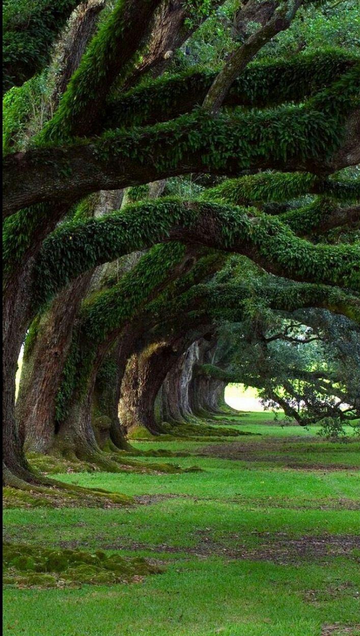 300 Years old Oak Trees OAK PLANTATION ~ LOUISIANA