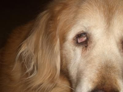 Two days ago I noticed some redness in my 13 year old golden retriever's right eye.  Yesterday, I noticed that it was a little more red and the bottom