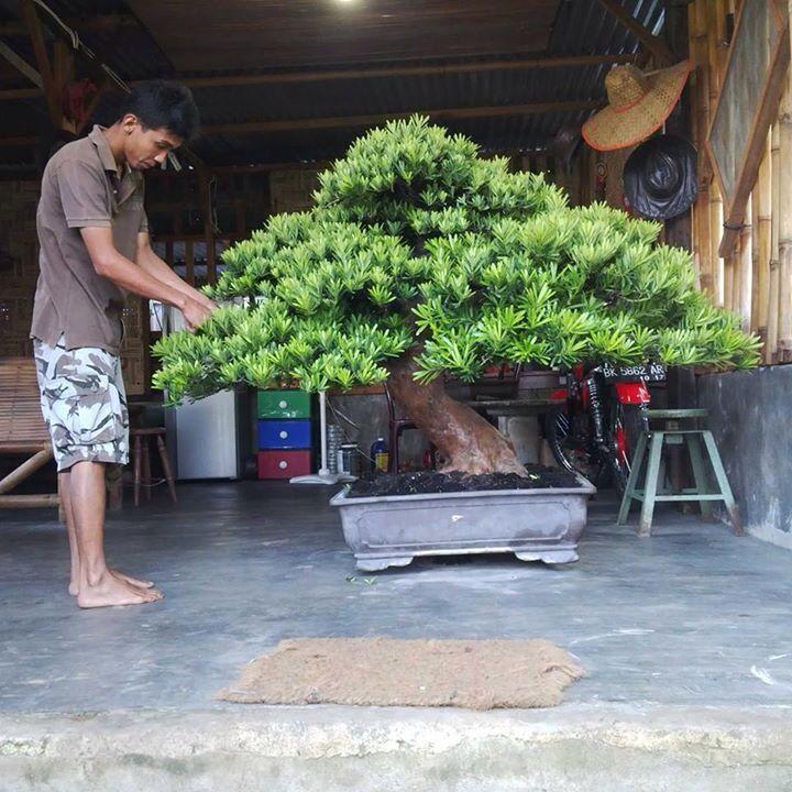 That's one huge Bonsai tree!