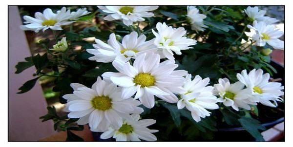 Flor anual: Margaridinha branca As chamadas plantas anuais tem um período de vida curto e são mais apropriadamente denominadas de estação. São cultivadas a partir da semente, crescem, florescem, sementam e morrem, completando seu ciclo de vida...