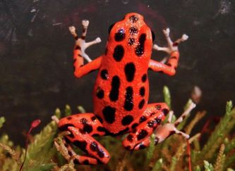 o. pumilio bastimentos is a bright red or orange dart frog from bastimentos island off of Panama.