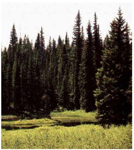 Bioma Taiga Coniferas