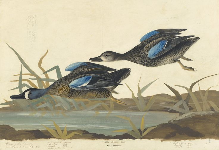 John James Audubon, Blue-winged Teal (Anas discors), Study for Havell pl. 313, 1822; 1830s. Watercolor, oil, pastel, black ink, and graphite with selective glazing on paper, laid on card. New-York Historical Society, Purchased for the Society by public subscription from Mrs. John J. Audubon, 1863.17.313