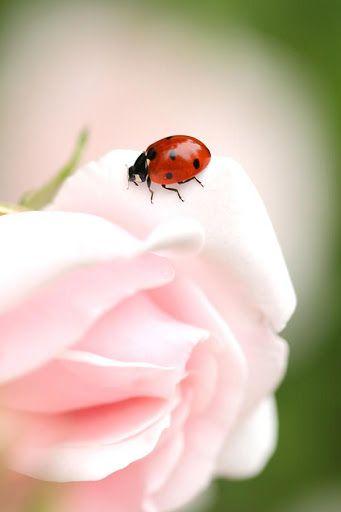 Ladybug...: